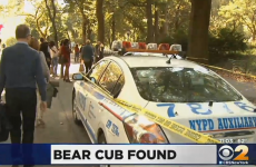 Baby bear found dead in Central Park, nobody knows where it came from