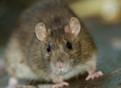 Rise in construction causing rats to come up from sewers and drains