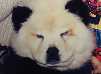Panda Chow Puppies For Sale