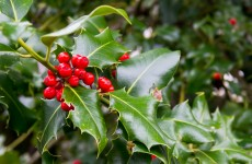 Spot someone nicking clumps of holly at the park? … Report it to the Gardaí