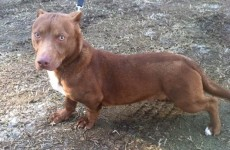 So THIS is what a pitbull-dachshund mix looks like