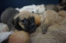 These are just some of the 116 puppies seized at Dublin Port