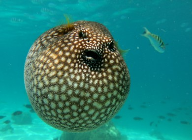 Five japanese men sickened after eating poisonous blowfish for Poisonous fish to eat