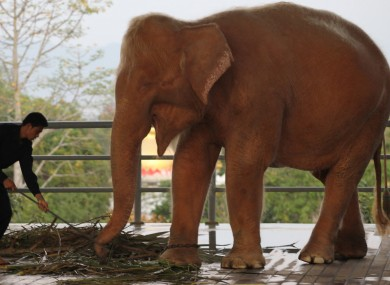 Despite their name, white elephants have a pinkish complexion.