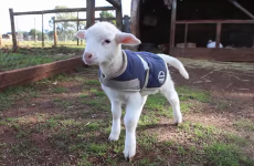 This lamb excitedly wagging his tail is the cutest thing you'll see today