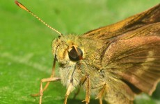 A museum is battling moths by turning them gay