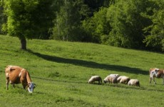 €10,000 reward for information about 75 stolen cattle and 25 sheep
