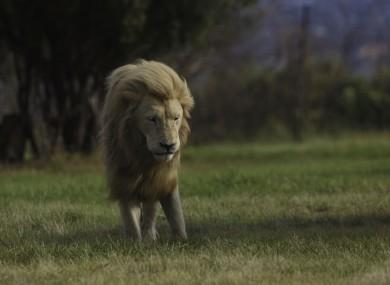 File image of a Lion at 'Lion Park'.