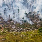 Cattle graze amongst burning Amazon jungle in Brazil. Since 1978, over 289,000 square miles of the Amazon rainforest have been destroyed across Brazil, Peru, Colombia, Bolivia, Venezuela, Suriname, Guyana, and French Guiana.<span class=