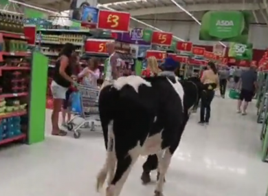 Cows are led through an Asda supermarket in the UK