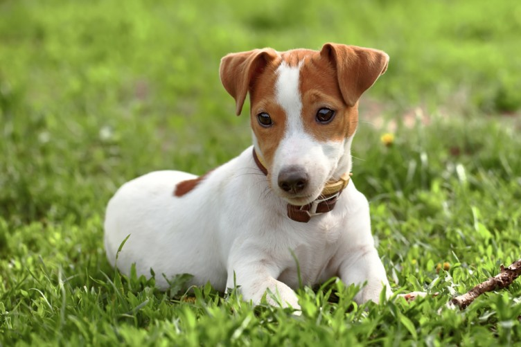 Solutions To Common Issues To Your Jack Russell