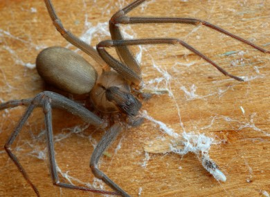 File photo of a brown recluse spider