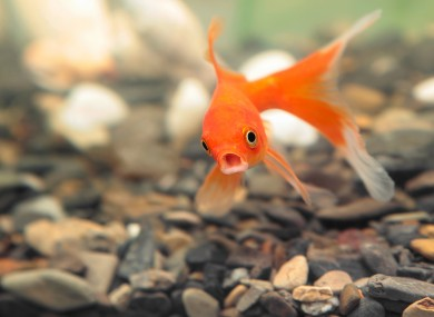 A shocked goldfish.