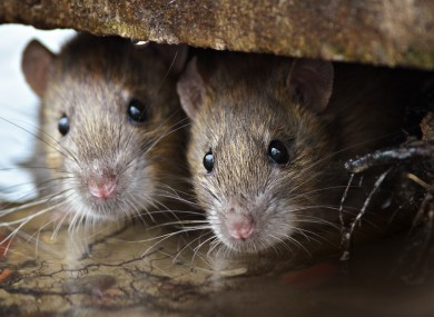 flooding drives rats out of their homes and there is a hidden