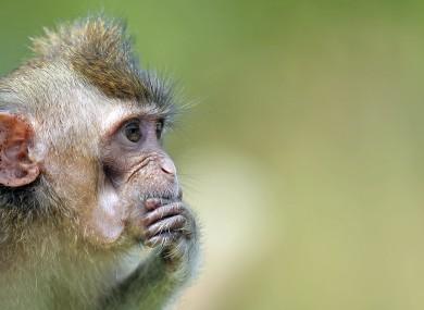 A macaque.