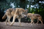 Eight grey wolves have arrived at Dublin Zoo