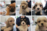Twenty Irish bred puppies found crammed in car boot