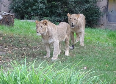 The lions pictured at Leipzig Zoo.