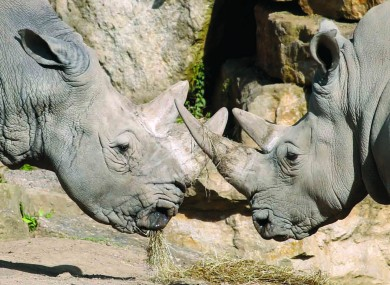 Two White Rhinos at Dublin Zoo.