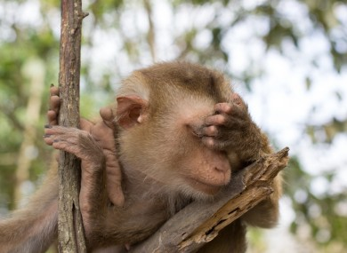 Not the macaque monkey in question