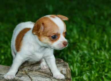 File photo. The chihuahua killed was a two-month-old pup