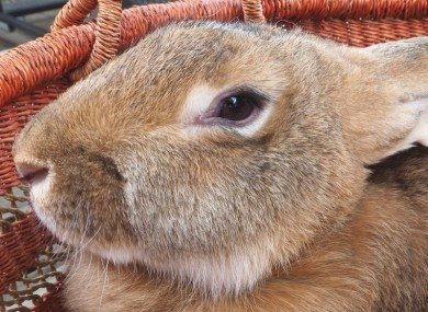File image of a giant rabbit.