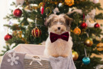 Poll: Should there be a ban on buying dogs around Christmas time?