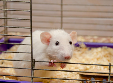 Rats and mice are commonly used in animal testing.