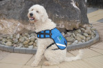 An assistance dog in training in official jacket.