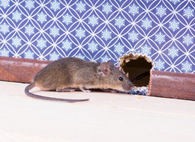 File photo rodent in building