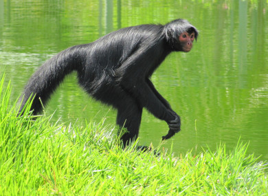 File photo. A spider monkey managed to escape the zoo yesterday.