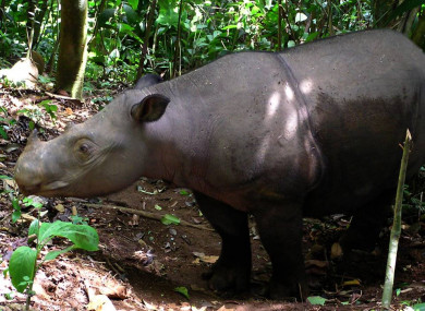 The WWF said there are less than 80 Sumatran Rhino left in the world.