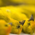 Dead canaries are seen at Sao Paulo International airport, Thursday, Sept. 25, 2008. Brazilian officials said a Portuguese man was arrested trying to smuggle 200 wild Peruvian canaries through the airport, and that the birds were found cooped up in four cages inside two suitcases. Sixty-five were dead due to suffocation or dehydration. (AP Photo/Andre Penner)