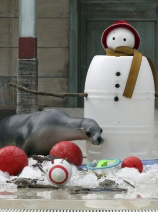 A seal looks to consume his Christmas goodies in Sydney, Australia today.