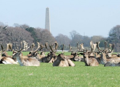 Deer relaxing in the sunshine in Dublin's Phoenix Park today