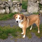 This gold-and-white collite male needs a home with a fenced garden. (Image: Madra.ie)