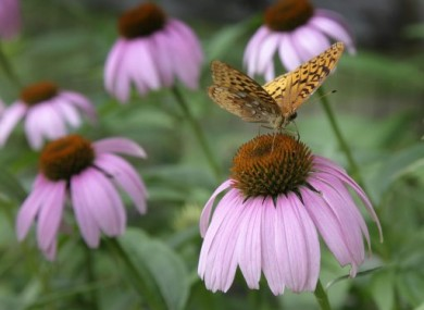 File: The flower of the echinacea plants.