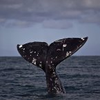 Quite possibly the whale equivalent of giving someone the finger, but don't be offended. Just marvel instead. (AP Photo/Guillermo Arias, file)