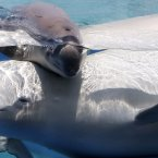 A two-day-old female white whale swims with her mother. One, two, three... aawwwwww. (AP Photo/Itsuo Inouye)