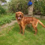 This young Irish Setter cross will need some training to help focus his energy. (Image: Madra.ie)