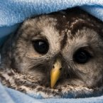 An owl wrapped in swaddling clothes and laid in a manger where he'll stay until winter is well and truly over. (AP Photo/The Canadian Press, Andrew Vaughan)