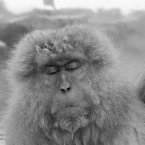 A Japanese macaque in deep thought in the hot springs in Japan. (AP Photo)