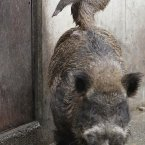 On a wild boar's back. Again, sorry. (AP Photo/Koji Sasahara)