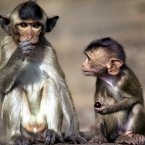 A young long-tailed macaque holding a grape looks on in earnest at his older friend who gobbles down a larger bunch of grapes. Greedy macaque. (AP Photo/David Longstreath)
