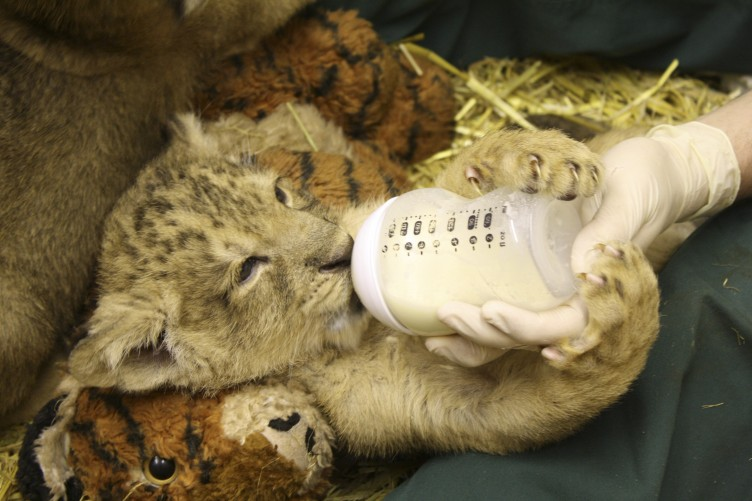 Good Morning Here Is A Lion Cub Holding A Bottle The Daily Edge