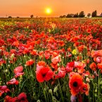 The sunset over a poppy field at Barnestone, Nottinghamshire.