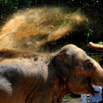 An Elephant uses his trunk to  cover himself in dust to protect against the sun at Twycross Zoo, Leicestershire. (Rui Vieira/PA Wire)