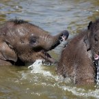 Hari and Bala Hi-Way Baby Asian Elephants at Chester Zoo take a dip in the pool to cool down from the hot weather. (Peter Byrne/PA Wire)