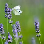 Standalone A Butterfly sits on a Lavender Plant. in Chester zoo's gardens. (Peter Byrne/PA Wire)