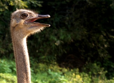 This ostrich looks mildly shocked about something.